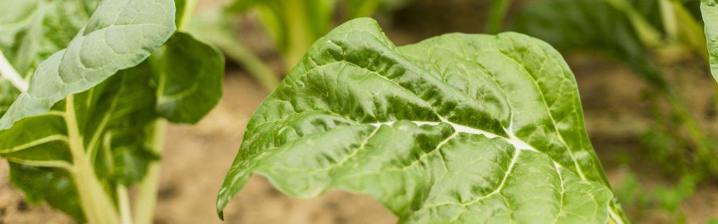 Las Acelgas, la verdura protagonista de Enero
